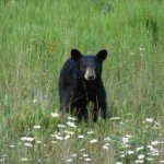 An outhouse Bear encounter as the result of an Invitation to Visit